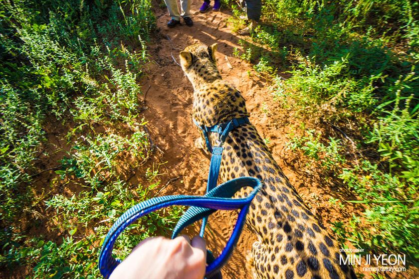 치타, 사자와 함께 아침을 거닐다 – 잠비아 여행 #2
